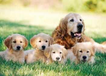 вязать собаку, вязка собак, беременность собак, роды собак, собака рожает, здоровье собак, собака, щенок, беременность собаки,