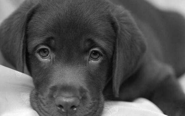 заболела собака, заболевания собак, здоровье собак, собаке нездоровится, усталость собак, вялость собак,