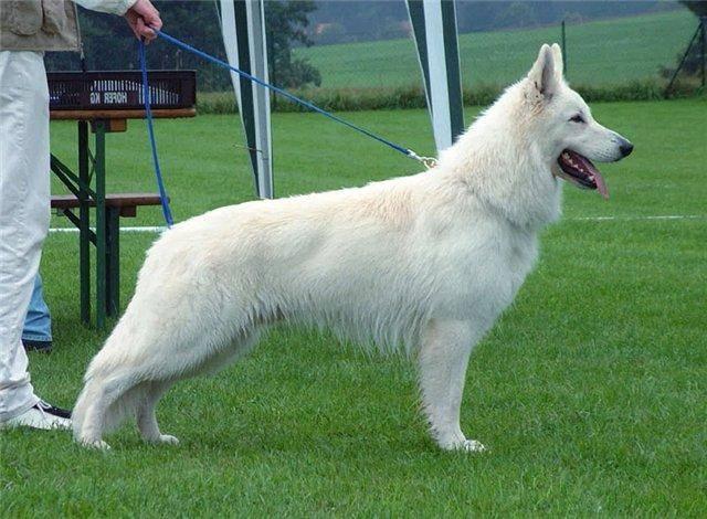 уход за шерстью, уход за белой шерстью, белая шерсть, уход за собакой, белая собака