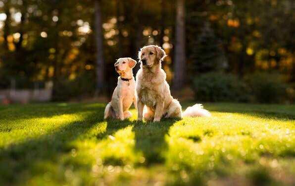 перегрев собаки, защит от солнца, перегрев на солнце, собака, собака перегрелась на солнце, собака перегрелась