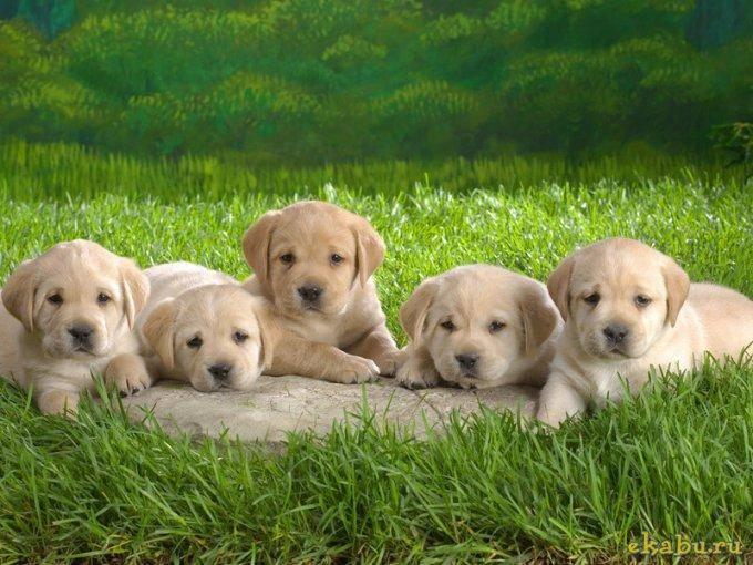 новорожденный щенок, уход за щенком, щенки, помет
