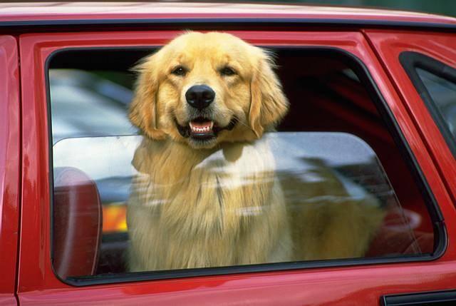 собака в автомобиле, автомобильная поездка с собакой, собака в машине, собака