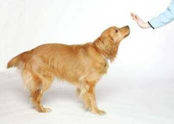 агрессия собаки, собака, воспитание собаки, дрессировка