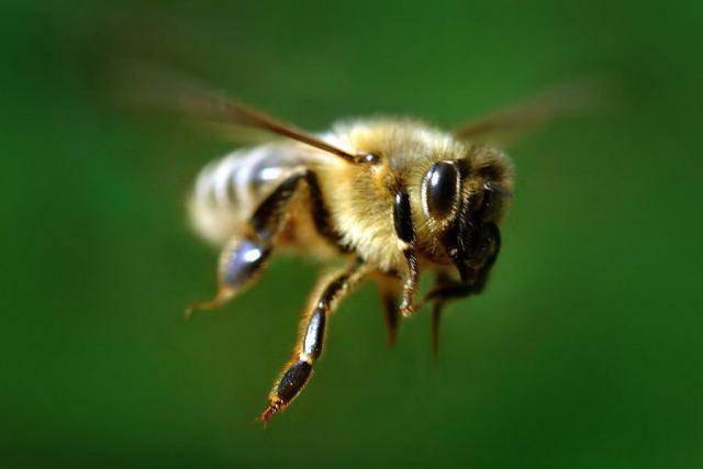 пчела и собака