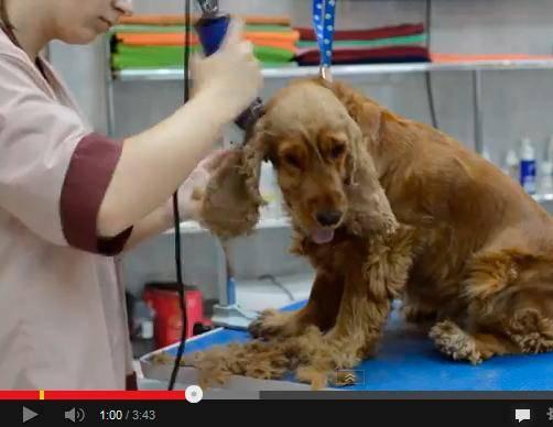 груминг английского кокер спаниеля, стрижка, тримминг собак, груминг собаки, видео по грумингу английского кгокера