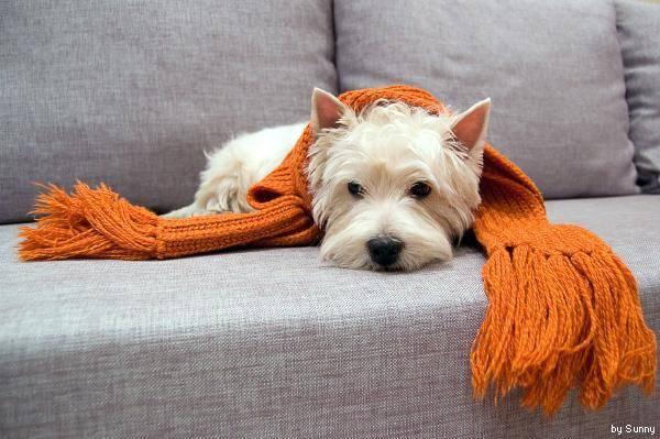 сердечные заболевания собак, собака сердце, Заболевания сердечнососудистой системы у собак, собака заболела