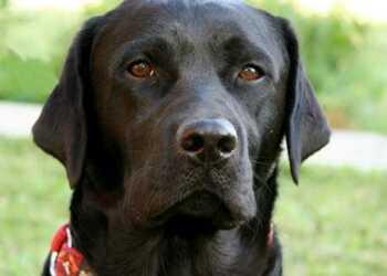 отказная собака, смена хозяина, взрослая собака, воспитать взрослую собаку, старая собака в доме, смена хозяина собаки