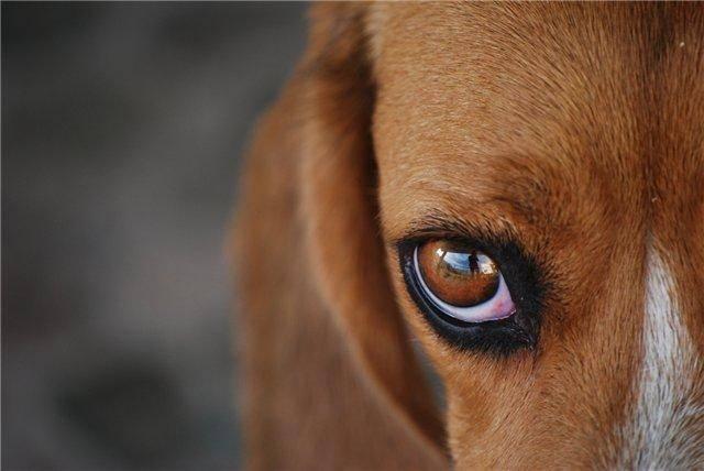 уход за глазами собаки, уход за ушами собаки, чистка ушей собак, чистка глаз у собак,