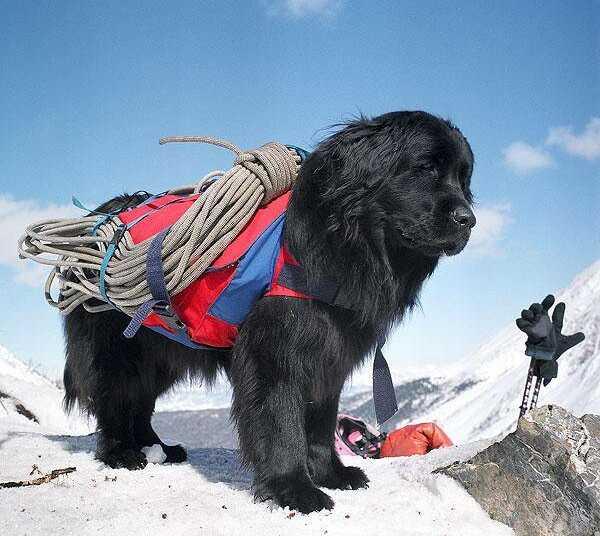 Собаки-спасатели, спасательная собака, сенбернары, пес барри, колли дик, Джульбарс, канис-терапия