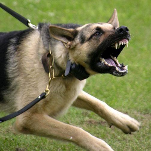 поведение собаки в конфликтной ситуации, как научить собаку защищать, как научить собаку охранять, дрессировочный курс «городская собака-телохранитель»