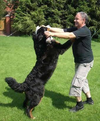 собака прыгает, прыгает на людей, воспитание собак, дрессировка, Как отучить собаку прыгать на людей?