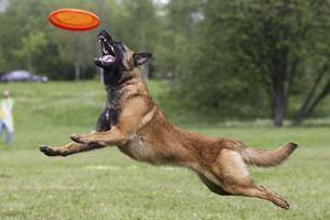 игрушки для собак, Дог-фрисби