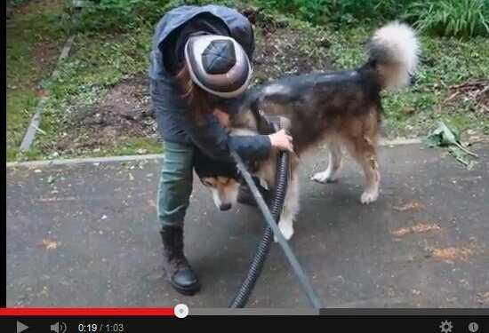 линька у собак, выдувание шерсти с помощью компрессора, компрессор для сушки собаки, фен для сушки собаки, компрессор для сушки шерсти