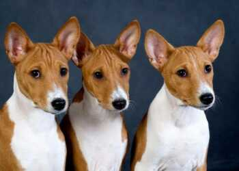 Басенджи, собака не умеет лаять, собака-кошка, Лесной Басенджи, Равнинный басенджи, собака Азанде, пигмейская собака