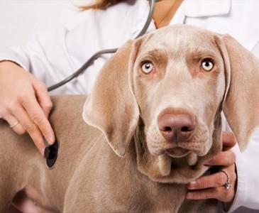 болезни печени у собак, гепатит у собак, острый гепатит ус обак, симптомы гепатита у собаки, лечение гепатита у собаки, цирроз печени у собак, симптомы цирроза печени у собаки, лечение цирроза пеени у собаки, ожирение печени у собак, липидоз у собак, симптомы липидоза у собаки, лечение липидоза у собаки