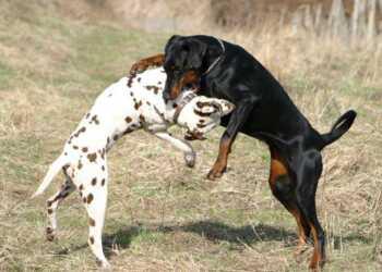 укус собак, рваные раны собак, первая помощь собаке, потеря крови собаки