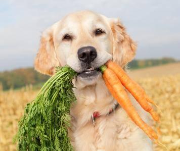 хозяин собаки вегетарианец, кормление собаки сухим кормом, собака и хозяин-вегетарианец