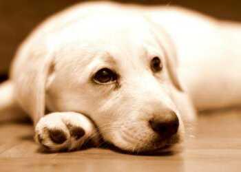 глисты собак, Круглые глисты, токсокароз, Ленточные плоские паразиты, Дирофилляриоз (сердечные глисты)
