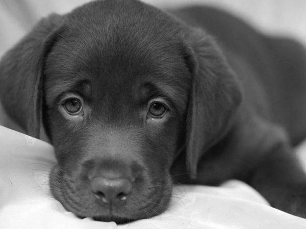 гемоглобин, гемоглобин у собак, анемия, анемия собак, Кровососущие паразиты, Внутреннее кровотечение,
