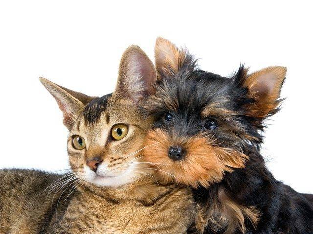 кот и собака, как подружить кошку с собакой, почему враждуют кошка с собакой, перемирие между кошкой и собакой, совместное содержание кошки и собаки