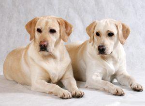 ложь о разных породах, правда о разных породах, мифы о собаках, мифы о лабрадоре, мифы о таксе, мифы о бультерьере