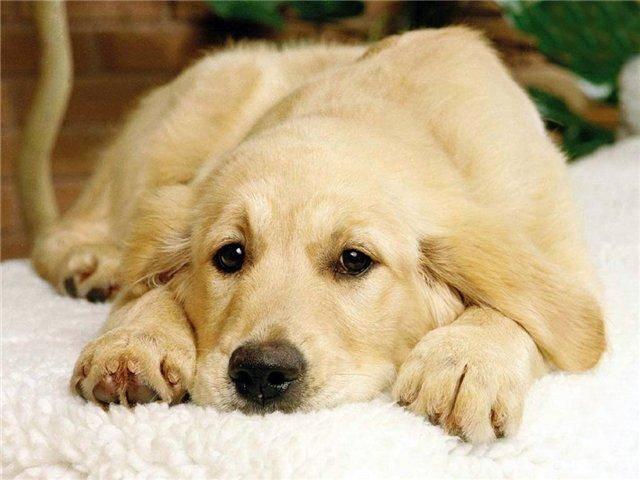 флегматичная собака, флегматичный щенок, дрессировка флегматичной собаку, собака-флегматик, перевоспитать флегматичную собаку