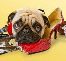 приучить собаку переносить одиночество, собака одна дома, причины разрушительного поведения собаки, причины воя собаки, психологические травмы собаки