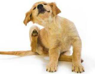 аллергия у собак, симптомы аллергии у собак, причины аллергии у собак, виды аллергии у собак, аллергены, первая помощь при аллергическом шоке, лекарства при аллергии у собак