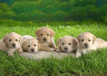 как найти щенкам хозяев, как правильно выбрать хозяина щенку, как продать щенка