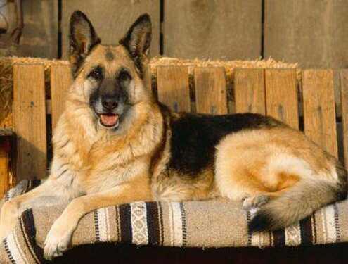 рабочие собаки, шоу-собаки, разведение рабочих собак, разведение шоу собак, описание шоу собаки, описание рабочей собаки, особенности рабочей собаки
