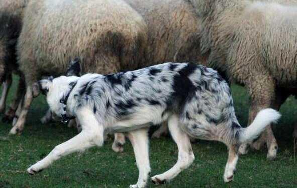 пастушьи собаки, пастушьи породы собак, собаки-пастухи, пастуший инстинкт у собак, охотничья стойка, инстинкт пастушьей работы, склонность к пастьбе у собаки, сильный взгляд у собаки