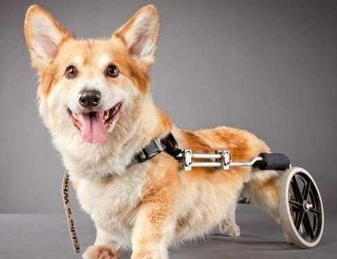 собаки-инвалиды, собака без лапы, собака без конечностей, уход за собакой без конечности, глухая собака, слепая собака, парализованная собака, уход за парализованной собакой, содержание глухой собаки, содержание слепой собаки