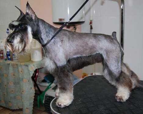 тримминг собак, стриппинг собак, что такое тримминг, что такое стриппинг, советы по триммингу, первый тримминг, тримминг жесткошерстных собак, зачем нужен тримминг, выщипывание собаки, стрижка собаки