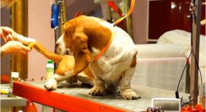 груминг бассет-хаунда, груминг собак спб, сгруминг в спб видео, груминг дома, стрижка бассет-хаунда, стрижка когтей собаке, расческа для собак, сушка шерсти компрессором, сушка собаки феном
