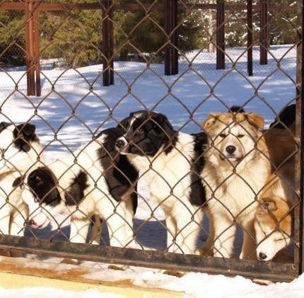 племенная собака, пенсия племенной собаки, содержание племенной собаки, будущее племенной собаки, уход за племенной собакой