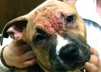 аллергия у собак, дерматологические заболевания у собак, кожные болезни у собак, проблемы аллергии у собак, признаки кожной болезни у собаки, соскоб или смыв с кожи у собаки, посев флоры на чувствительность к антибиотикам, демодекоз, отодекоз, саркоптоз, блошиный дерматит, стригущий лишай, трихофития, атопический дерматит у собак, пиодермит