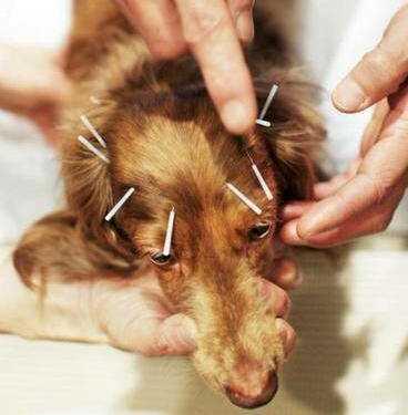 """Нетрадиционная ветеринария, гомеопатия для собак, иглоукалывание для собак, компания """"Хель"""", «Хель-вет», пиявки для собак, противопоказания к иглоукалыванию для собак"""