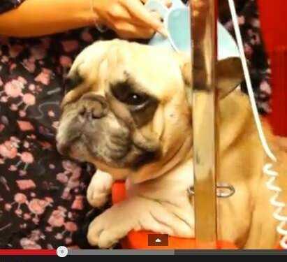 груминг французского бульдога, груминг бульдога видео, подготовка к выставке французского бульдога, подстричь когти собаке видео