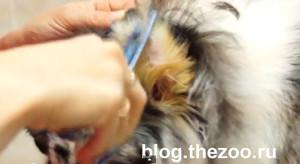 груминг шелти, груминг шелти видео, стрижка шелти видео, как помыть шелти, как подстричь шелти уши, стрижка воротника у шелти, мытье собаки видео, груминг в зоосалоне видео