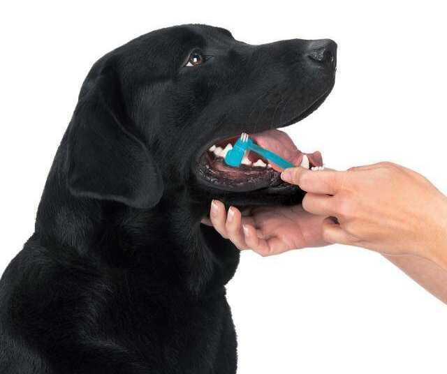 зубы собаки, уход за ротовой полостью собаки, как чистить зубы собаке, зубной камень у собаки, как убрать у собаки зубной камень, желтый налет на зубах у собаки, чем чистить собаке зубы, травмы зубов у собаки