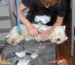 тримминг собак, как научить собаку спокойно переносить тримминг, раздражение после тримминга, правила тримминга собак, стресс после тримминга, как часто делать тримминг собаке, тримминг под наркозом,
