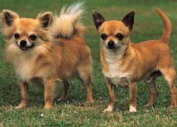тип шерсти у собак, короткая шерсть, уход за короткой шерсть, породы собак с короткой шерстью, длинная шерсть, уход за длинной шерстью, породы собак с длинной щерстью