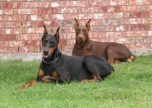 Разные типы шерсти собаки - особенности ухода. Часть 1.