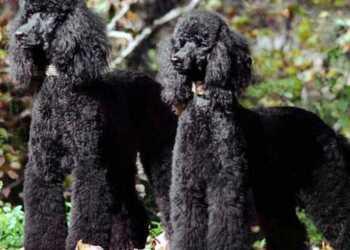 курчавая шерсть, уход за курчавой шерстью, уход за кучерявой шерстью, стрижка собаки, груминг собак с кучерявой шерстью, шнуровая шерсть, уход за шнуровой шерстью, как помыть шнуровую шерсть, собаки с жетской шерстью, уход за жесткой шерстью, тримминг собак, тримминг терьеров, правила тримминга, как тримминговать собаку