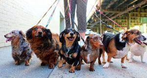 155-dogs-walk
