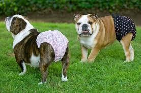 пик течки у собаки