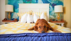 Как отучить той терьера спать на кровати