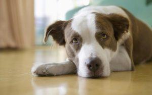 Признаки боли у собаки - секреты домашнего груминга