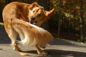 Собака гоняется за хвостом — почему?