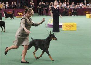 Безопасность собак на выставке — как избежать беды